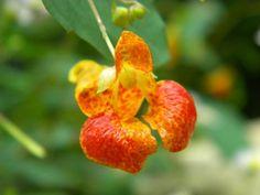 Touch-me-not (jewel weed) Jewel Weed, Secret Gardens, Herbal Remedies, Herbalism, Jewels, Touch, Flowers, Herbal Medicine, Jewerly