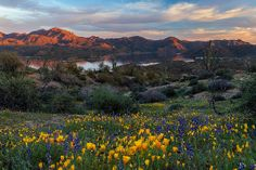 Bartlett Lake Poppies and Lupine | Flickr - Photo Sharing!