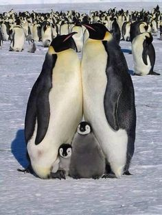 Cute family of penguins Animals And Pets, Baby Animals, Funny Animals, Cute Animals, Wild Animals, Funny Birds, Nature Animals, Penguin Love, Cute Penguins