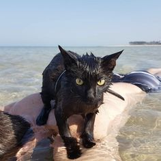 Stop Everything And Watch This Cat Who Loves The Ocean