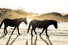 see the wild horses on the Outerbanks