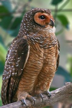 Spotted Wood Owl by Grandpa