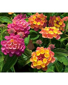 Lantana Landmark™ Rose Sunrise  A mounding annual that is deer resistant and heat tolerant, has scented foliage, and attracts butterflies and hummingbirds sounds like a plant you could use. Prune back Lantanas after the first flush of flowers to shape them and prompt the formation of more buds.