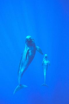 False Killer Whale - Pseudorca crasidens (via NOAA)