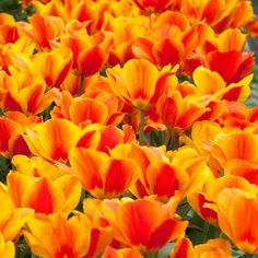 Flair Tulip by sold by Colorblends