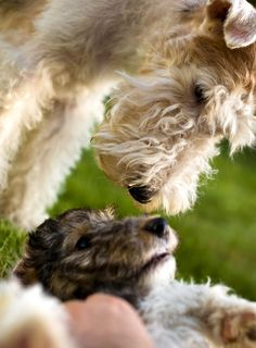 The daily Wire Fox Terrier Fox Terriers, Perro Fox Terrier, Wirehaired Fox Terrier, Wire Fox Terrier, Airedale Terrier, Terrier Dogs, Pitbull Terrier, Lakeland Terrier, I Love Dogs