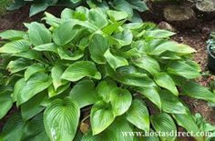 Montana Hosta Dark green, elongated heart-shaped leaves with prominent veins. The leaves are quite large and are held in an arching manner, forming a beautiful, dome-shaped plant. Pale lavender flowers.  Grows twice as fast as other Hostas, but is the first to die back in the fall. Hosta Gardens, Buy Plants, Lavender Flowers, Tropical Plants, My Flower, Curb Appeal, Montana, Succulents, Leaves