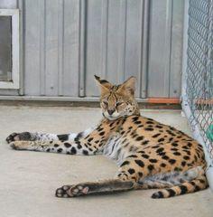 Serval Studs - Savannah Cats - Select Exotics   #savannahcats  #SEpintowin