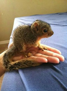 baby squirrel so-fluffy Squirrel Girl, Cute Squirrel, Squirrels, Squirrel Pictures, Animal Pictures, Hamsters, Rodents, Wild Creatures, Little Critter