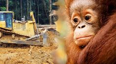 An orangutan watches helplessly as a bulldozer clears the rainforest