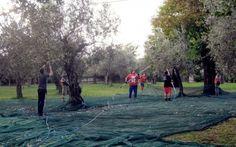 Il giusto grado di maturazione #maturazione #olive #olio #qualità