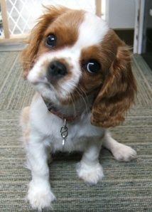 File:Cavalier King Charles puppy.JPG - Wikipedia, the free ...