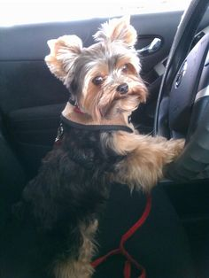 Yorkie my baby does this too Cute Puppies, Cute Dogs, Dogs And Puppies, Doggies, Most Beautiful Dogs, Animals Beautiful, Yorkie Haircuts, Baby Animals, Cute Animals