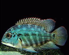 Hoplarchus psittacus #TropicalFishFreshwater