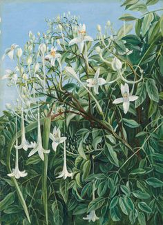 286. Foliage, Flowers, and Fruit of Millingtonia hortensis by  Marianne North