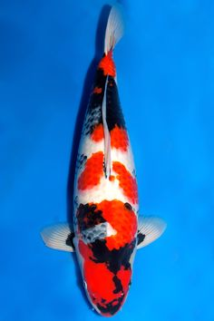 Fish Aquariums, Aquarium Fish, Carpe, Japanese Koi, Koi Carp, Fish Tanks, Betta Fish, Goldfish, Pets
