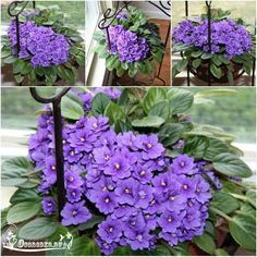 Houseplants for Better Sleep With A Grateful Prayer And A Thankful Heart: African Violets Show and Tell Friday Perennial Flowering Plants, Herbaceous Perennials, Ornamental Plants, Love Flowers, Beautiful Flowers, Arrangements Ikebana, Violet Plant, Saintpaulia, Bonsai Seeds