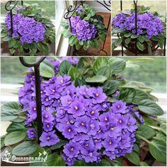 Как заставит фиалку цвести и что делать если не цветет фиалка после пересадки? Как ускорить цветение фиалок и как правильно поливать читайте..