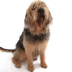 OTTERHOUND  ||  Country of Origin: England ||  Hound Group - Scent Hound ||  Current Use:  Companion, hunting, watchdog  || Life Span: 10 to 13 years ||  Colour:  Any color or combination of colors.  ||   Any color or combination of colors - Brush weekly || 80 to 115 pounds