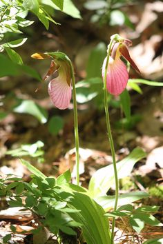 Ladyslippers on Bristol Ledges -- Vermont.  We counted 43 this year here. This is the only place I've seen quantities of them around here, and it is only on a small area, west facing ledge. Photo by Anne Majusiak, May 2013.