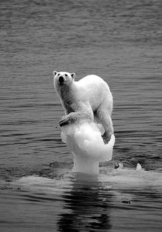 "This iconic image of the polar bear balancing on the small remainder of sea ice is used to portray global warming. Instead of using statistics, this image tries to appeal to an emotional connection to the ""cuddly and loving"" polar bear. Save Planet Earth, Save Our Earth, Our Planet, Save The Planet, Salve A Terra, Photo Choc, Bear Pictures, Environmental Issues, Environmental Posters"