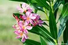 Le Laurier rose, Nerium oleander. Tahiti
