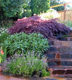 Of course, rockeries are not all planted with ground covers and small perennials. When the planting pockets are large enough, small trees and shrubs can do quite nicely. Here at the top of the rockery is a weeping Japanese maple (Acer palmatum 'Dissectum Atropurpureum'), below it is David's viburnum (Viburnum davidii), and at the bottom, lavender (Lavandula sp.) is blooming.