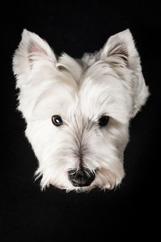 West Highland Terrier Samson #Pfotentick #Hundefotografie #Studio #Shooting #Samson #WestHighlandTerrier #dog #photography