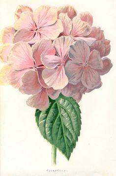 Pink Hydrangea  Vintage Botanical Print  Flower