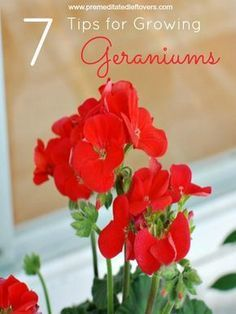7 Tips for Growing Geraniums - These gardening tips will show you how to plant and grow geraniums so you can enjoy the color and fragrance of the blooms of these gorgeous annual flowers. by marissa Growing Geraniums, Potted Geraniums, Red Geraniums, Growing Flowers, Growing Plants, Planting Flowers, Geraniums Garden, Caring For Geraniums, Geranium Planters