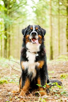 If I ever move to a colder climate, I'll have myself a Bernese Mountain Dog!