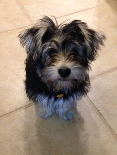 Willow is a schnauzer-Yorkie mix, or a Snorkie. Such a sweet, smart, fun puppy.