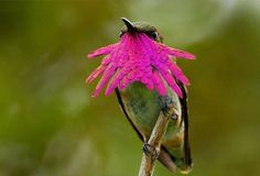WINE THROATED HUMMINGBIRD Lives South America