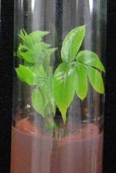 Establecimiento in vitro