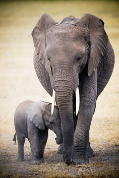 ELEPHANT AND BABY Poster - Europosters