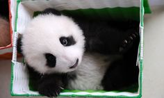 A captive-bred baby panda sits in a basket at China's Giant Panda Research Center. Photo by Ami Vitale.