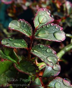 Rain drops on rose tree leaves