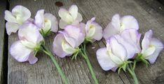 Image result for sweet pea high scent