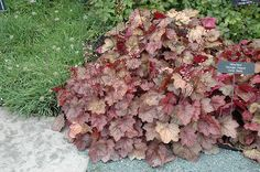 Click to view full-size photo of Georgia Peach Coral Bells (Heuchera 'Georgia Peach') at The Growing Place