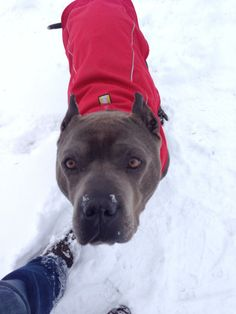 Azzurro, our blue gentle giant needs a foster or forever to spoil him rotten :D Portland, OR  foster_adopt@lovers-not-fighters.org