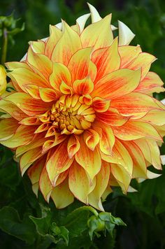 Close up of beautiful orange and yellow dahlia flower Beautiful Flowers Garden, Exotic Flowers, Orange Flowers, Amazing Flowers, Pretty Flowers, Dahlia Flowers, Gladioli, Mellow Yellow, Orange Yellow