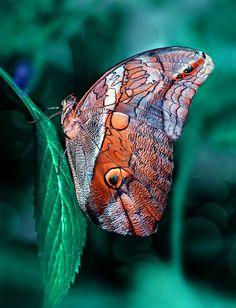 ~~Owl Butterfly Caligo by Mustafa Öztürk~~