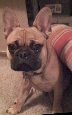Under the bed is just as good as in the bed 🐾 French Bulldog Puppies, French Bulldogs, Adorable Animals, Animals Beautiful, Cutest Puppy Ever, Carlin, Meatball, Four Legged, Future Baby
