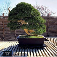 A 250 years old Bonsai tree