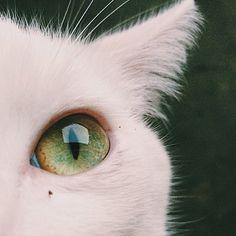 Imagem de cat, eyes, and white