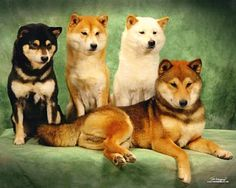 Rainbow Shibas! The four colors of Shiba Inus. Tricolor (Black and Tan), Red, Cream, and Sesame.