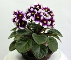 On The Net Landscape Design And Style - The New On-line Tool That Designers Are Flocking To For Landscape Designs Optimara Indoor Bonsai Tree, Indoor Plants, Exotic Flowers, Beautiful Flowers, Bonsai Soil, Saintpaulia, Crassula Ovata, Flora, Jade Plants
