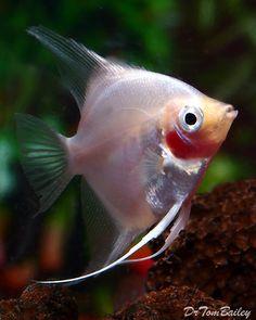 Blushing Angelfish,