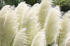 Pampas Grass Flowering