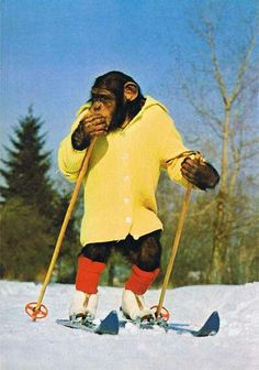 Chimp on skis Primates, Funny Animal Videos, Funny Animal Pictures, Animals And Pets, Funny Animals, Monkey Pictures, Barrel Of Monkeys, Monkey Art, Planet Of The Apes
